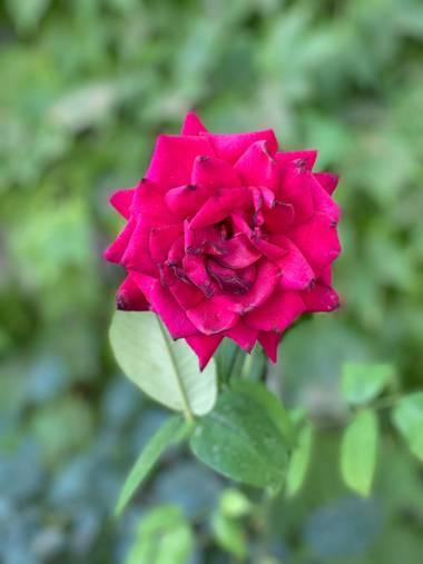 Escapateconnastasha en Hamelin: Flora  (Montilla), #Flor #rosa #zuheros