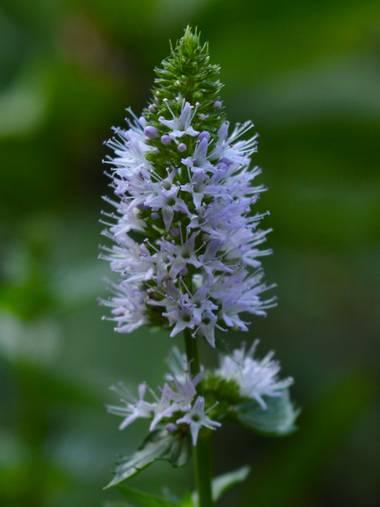 ivanmanuel en Hamelin: Flora  (San Lorenzo), Flores de #Menthaspicata