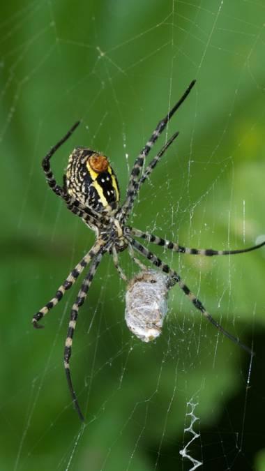 Juanatlantida82 en Hamelin: Fauna, Araña
