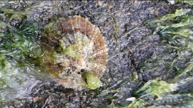 Solerantonio2 en Hamelin: Fauna  (Níjar), Chapa del mar cabo de gata