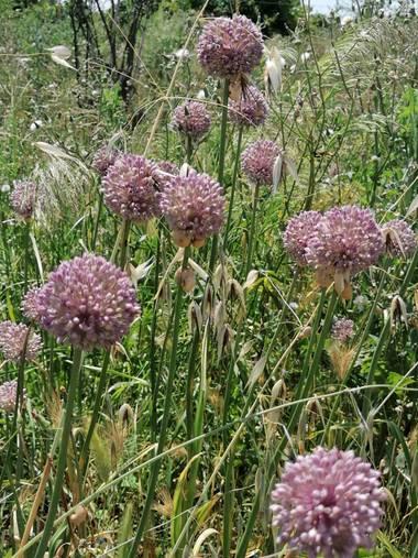 Pil_artero en Hamelin: Flora, Allium ampeloprasum
