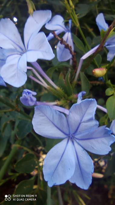 GreenPhoto en Hamelin: Flora, Plumbago auriculata