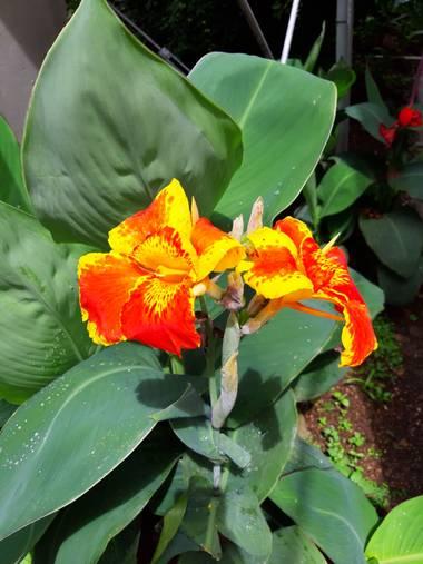 Camisi1812 en Hamelin: Flora  (La Candelaria), Canna indica, #flor