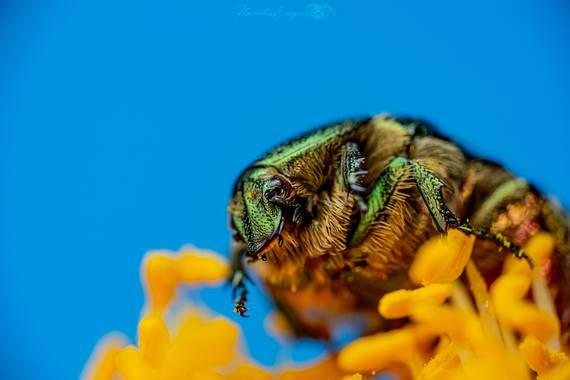 Florentinoeugenio en Hamelin: Fauna  (San Fernando de Henares), #cetoniaaurata