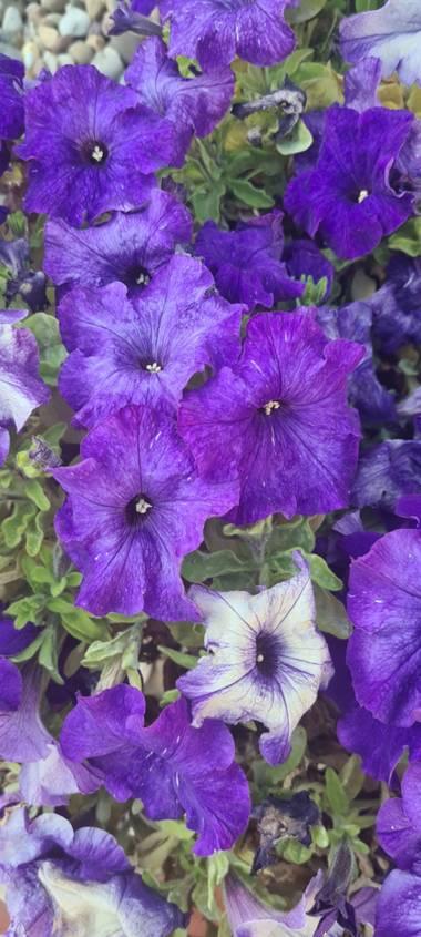 Lauratduch en Hamelin: Flora  (El Vendrell), Llego la primavera#fotomovil# el vendrell