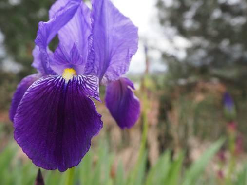 Julialozanoc en Hamelin: Flora  (Daroca), Iris germanica, Más fotos de lirios. #flora21