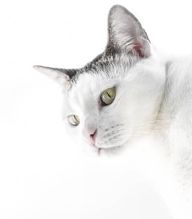 José Viana en Hamelin: Fauna  (Caracas), #Whitecat #gatoblanco #mascota  #ojosverdes