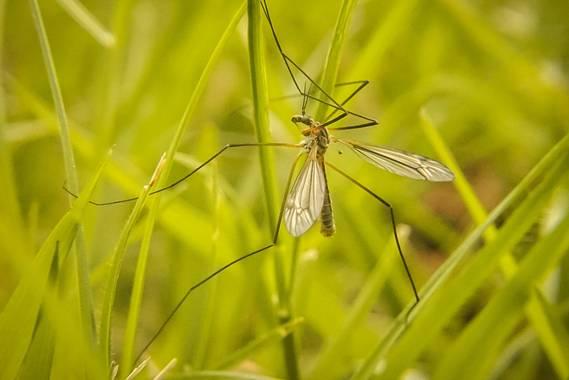 Eritz.cortazar en Hamelin: Fauna  (Orduña), Tipula paludosa Fabricius, 1794, Tipula de los prados 🦟   #tipula #tipulapaludosa #paludosa #mosquito #insecto...