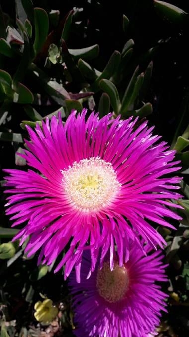 Solerantonio2 en Hamelin: Flora  (Níjar), Flor en aguamarga almeria