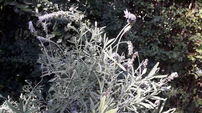 Sol714 en Hamelin: Flora, Lavandula dentata