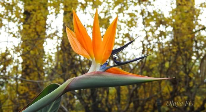 olaya96fg en Hamelin: Flora  (Elche), Strelitzia reginae, Ave del paraiso
