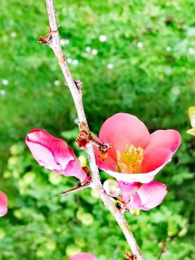 Pilicupa en Hamelin: Flora  (Madrid), Chaenomeles japonica, Una espina y una flor 🙃🙃