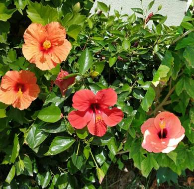 Maite  en Hamelin: Flora  (Moncofa), Hibiscus rosa-sinensis, #ParquesyJardines