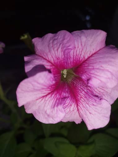 Amigomar197171 en Hamelin: Flora  (Cali), Flor de la petunia La flor de la petunia puede ser de dos formas distintas, la podemos encontrar en forma individ...