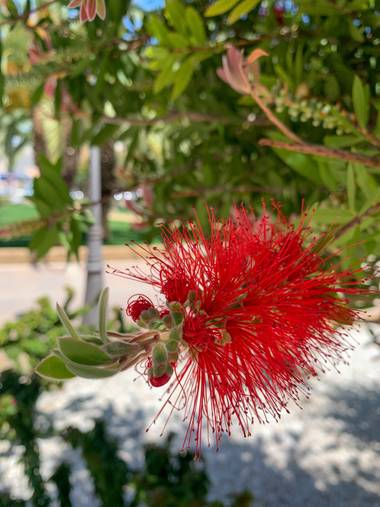 carogv1995 en Hamelin: Flora  (Molina de Segura), Callistemon citrinus, #floresbonitas #murcia #flora21