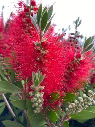 Zetadeuve en Hamelin: Flora  (San Cristóbal de La Laguna), #flora21  #tenerifelicidad