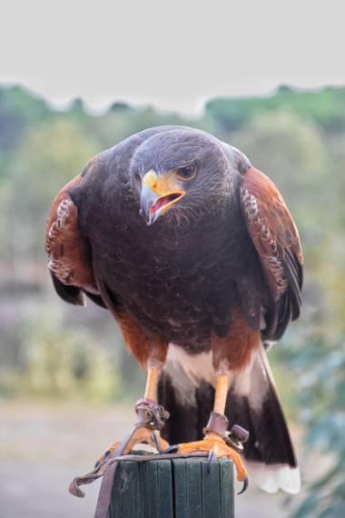 carmen.guerra1997 en Hamelin: Fauna  (Cazorla), Parabuteo unicinctus (Temminck, 1824), Águila de Harris #aves21 #hamelin21
