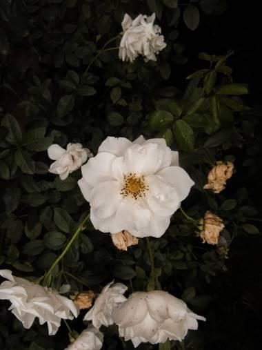 Pikeriel en Hamelin: Flora, #roses #rosa #rosablanca #macro #rosas #wallpaper