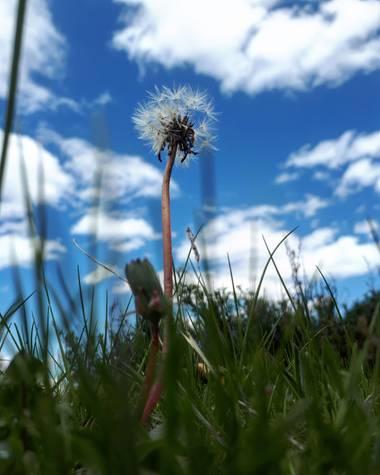 Reich  en Hamelin: Flora  (Aldeire), Arnica montana, Pide un deseo. #Flora21