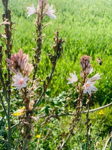 Clari Montal en Hamelin: Flora  (Lloret de Vistalegre), Asphodelus ramosus, #primavera2021 #mallorca #sineu
