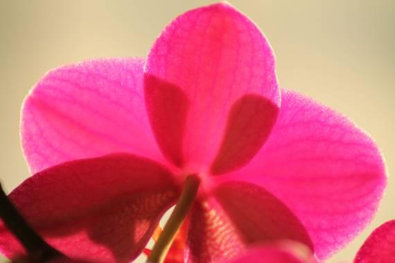 Manelsersol en Hamelin: Flora  (Olot), #FLORA #FLOR #naturaleza #macrofotos #macroflores #contraluzfotografia
