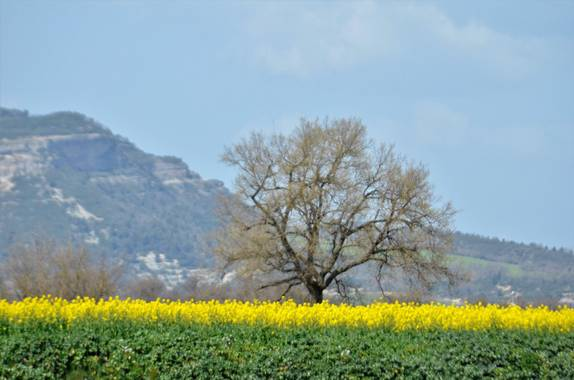 Azulmarino  en Hamelin: Flora  (Manlleu), Campos de colza #frommypointofview #primavera #arbol #colza #amarillo