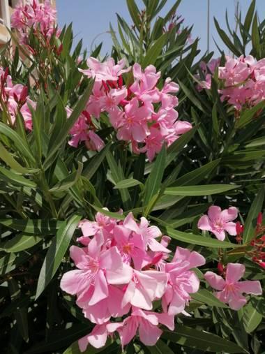 Solerantonio2 en Hamelin: Flora  (Almería), Nerium oleander, Flores del jardin