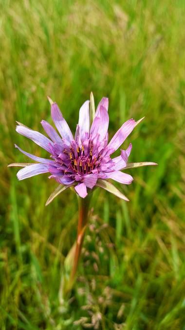 Corina en Hamelin: Flora  (Vitoria), Tragopogon porrifolius, #floresdecampo