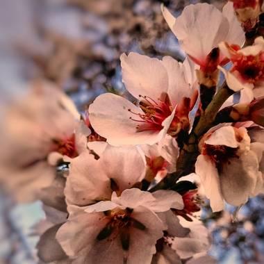 Pedroadriano1959 en Hamelin: Flora  (Granada), Prunus dulcis, La primavera otoñal