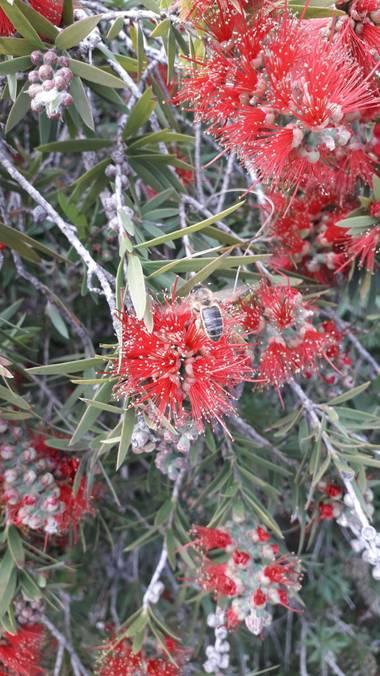 Solerantonio2 en Hamelin: Fauna  (Almería), Abeja volando la flor parque andarax
