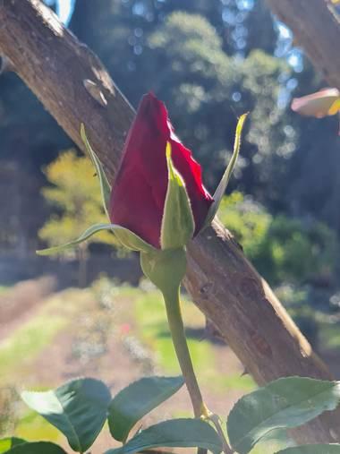 Liliannetnavas en Hamelin: Flora  (Zaragoza), Capullo de rosa roja🌹 #flora21