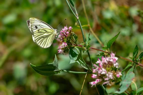manuel.torres1 en Hamelin: Fauna  (Setcases), #insecto  #mariposa  #polinización #Pirineos