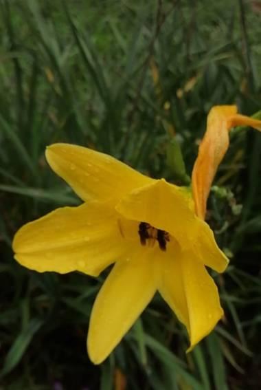 Nancypulido284 en Hamelin: Flora, Hemerocallis lilioasphodelus, #flores#hermosas
