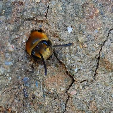 Georginaag en Hamelin: Fauna  (Castell-Platja d'Aro), #fauna #insectos #abeja
