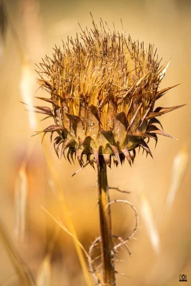 Acorazado3000 en Hamelin: Flora  (Córdoba), Onopordum illyricum, Cardo Borriquero.            #fotografiacarloscalvo #cardo #cardoborriquero #planta #flor ...