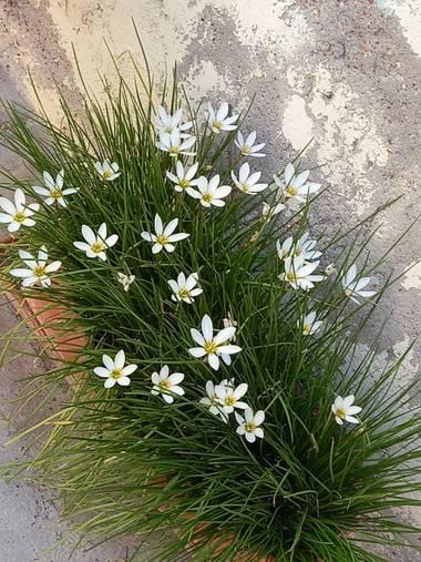 olgabijoux.ot en Hamelin: Flora  (Luján de Cuyo), Zephyranthes candida