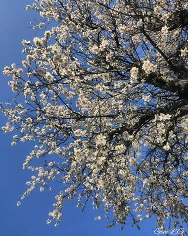Geñi en Hamelin: Flora  (Madrid), Prunus dulcis, Almendros en flor