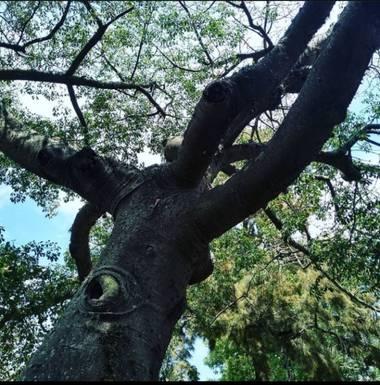 GrachuV. en Hamelin: Flora, Ojo en un árbol....
