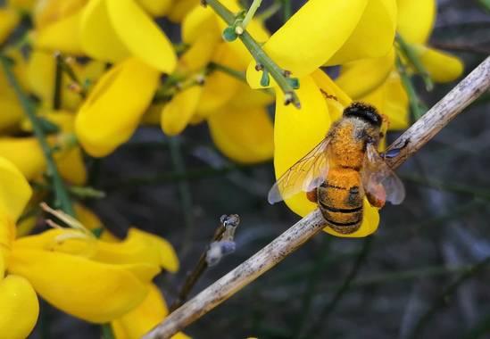 Gustavo Adolfo. en Hamelin: Fauna, Con la cantidad de polen que lleva pegado a su cuerpo, imagino que la pondrán una calle cuando llegue a la colmena