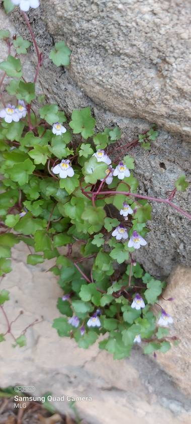 Apasnau75 en Hamelin: Flora  (Rincón de la Victoria), Cymbalaria muralis, Pequeña planta con florecillas hermosas que salen de la piedra.