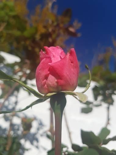 Ana Guillén en Hamelin: Flora  (La Parra), La rosa del patio de mi casa, es particular....