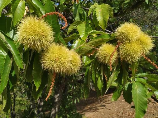 alfredocarrascocarrasco en Hamelin: Flora  (Benalauría), Erizo  #castaña #valledelgenal #serraniaderonda #Otoño2020