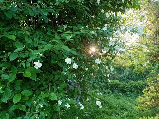 raquelarriola15 en Hamelin: Flora  (A Coruña), Philadelphus coronarius, Árbol  Celinda, característico por su sombra, belleza y aroma de sus pequeñas flore...