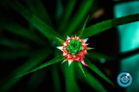 Fotomecuri en Hamelin: Flora  (Cali), Planta de Piña!