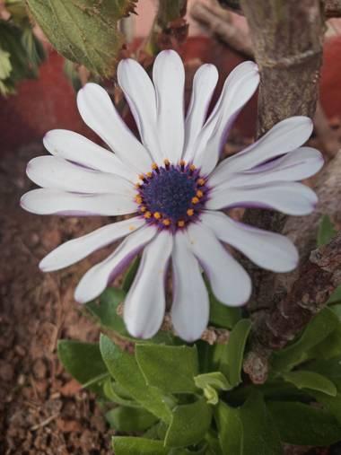 Alquimia Natural en Hamelin: Flora  (Camargo), Osteospermum fruticosum, Sorpresa 💕