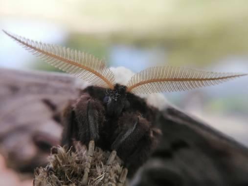Gustavo Adolfo. en Hamelin: Fauna  (Navalcán), Saturnia pyri (Denis & Schiffermüller, 1775), Pavón nocturno. Es le insecto y mariposa más grande de Europa....