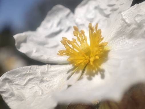 Juanjo1977 en Hamelin: Flora, Helianthemum apenninum, #España #Spain #senderismo #macrophotografy #fotografiamacro #macrofotografia