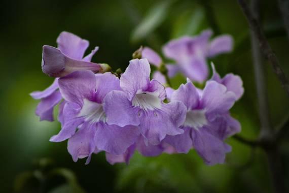 Claudiaverenicesv en Hamelin: Flora  (San Francisco Gotera), Clytostoma binatum, Es una flor silvestre