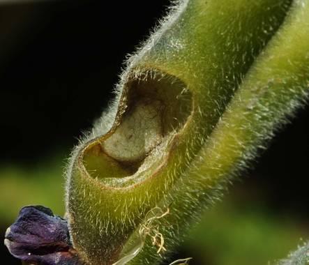 Zukerrene en Hamelin: Flora