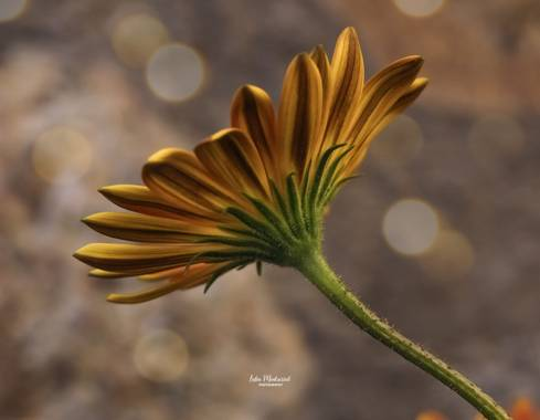 Lidia__lmr38 en Hamelin: Flora  (Zaragoza), Gerbera jamesonii, #flora21